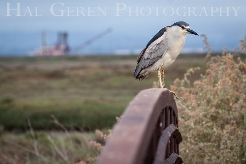 Black Crowned Night Heron Don Edwards National Wildlife Refuge, Fremont, California 1407R-BCNHWD1