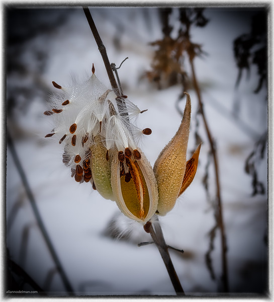Milkweed at South March Highlands