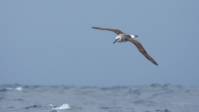 Grey-headed Albatross, imm, Eaglehawk Neck Pelagic, TAS, May 2016-2.jpg