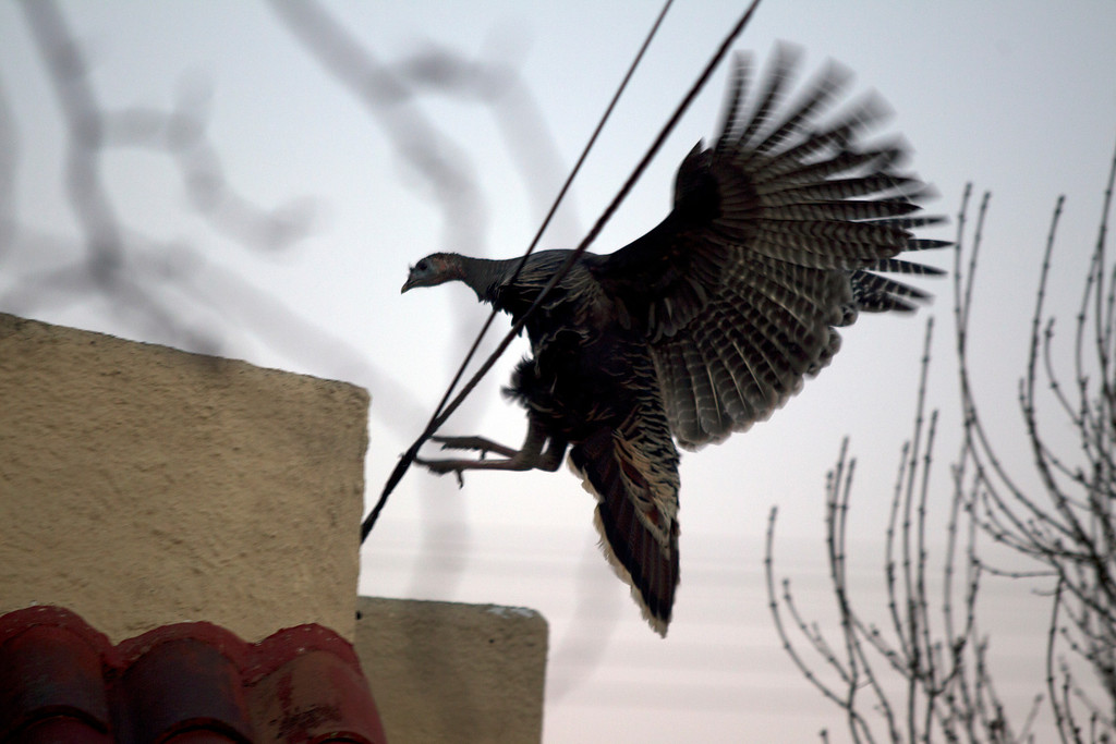 . A wild turkey flutters to a perch on a rooftop along Cornell Avenue, Sunday, Feb. 24, 2013 in Albany, Calif. Neighbors are requesting that the city do something about the birds, a flock of which have taken up residence in an area tree. (D. Ross Cameron/Staff)