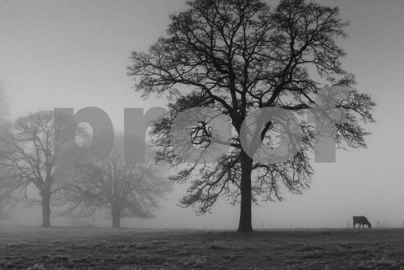 A lone cow grazes among Oregon white oaks shrouded in morning fog near Olympia, WA.
