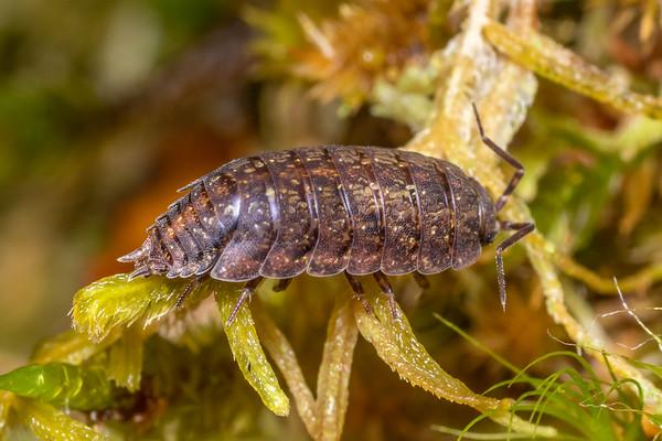 Genus Phalloniscus