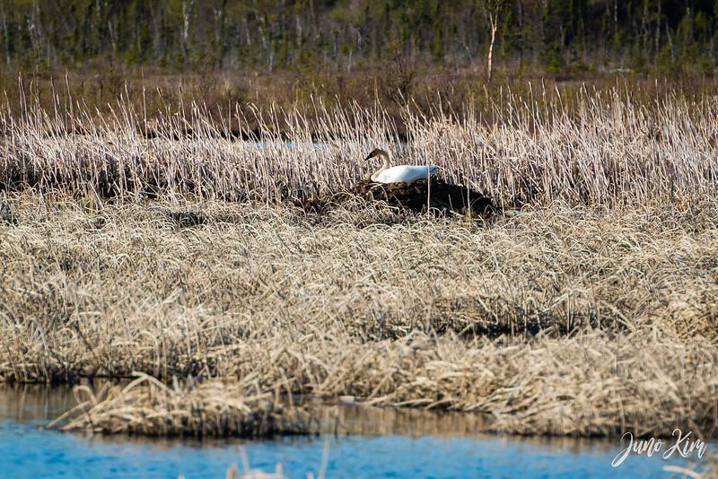 2020-05-12_Potter Marsh bird-_6109694-Juno Kim.jpg