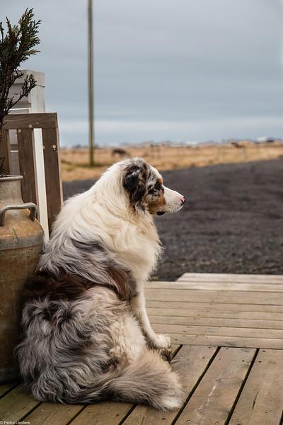 Australian Shepherd in Iceland