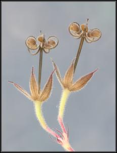 Slipbladige ooievaarsbek/Cut-leaved Crane's-bill