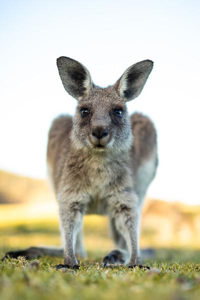 2G2A3582- Callum Snape - Kangaroo.jpg