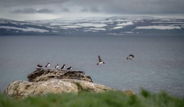 Day 5 - Westfjords: Isafjordur, Vigur Island, Heydalur