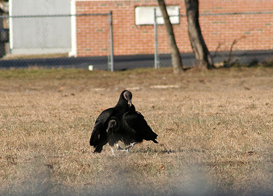 Black Vultures Mating Port Republic 3-02-08