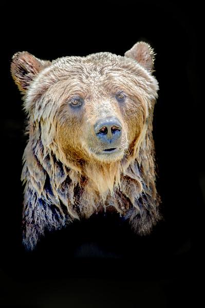 Face closeup of a brown bear