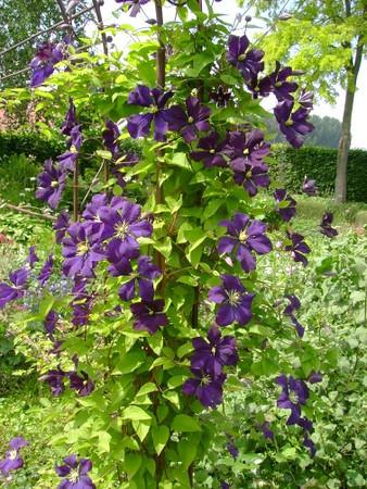 Clematis viticella 'Etoile Violette'.jpg