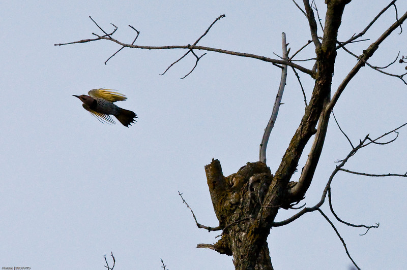 Male Yellow-shafted Flicker in Flight