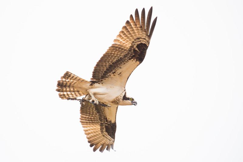 osprey twig-3113.jpg