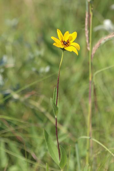 Stiff Sunflower
