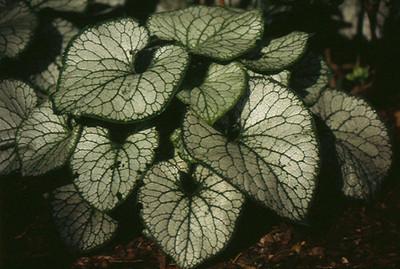 Brunnera macrophylla 'JackFrost'