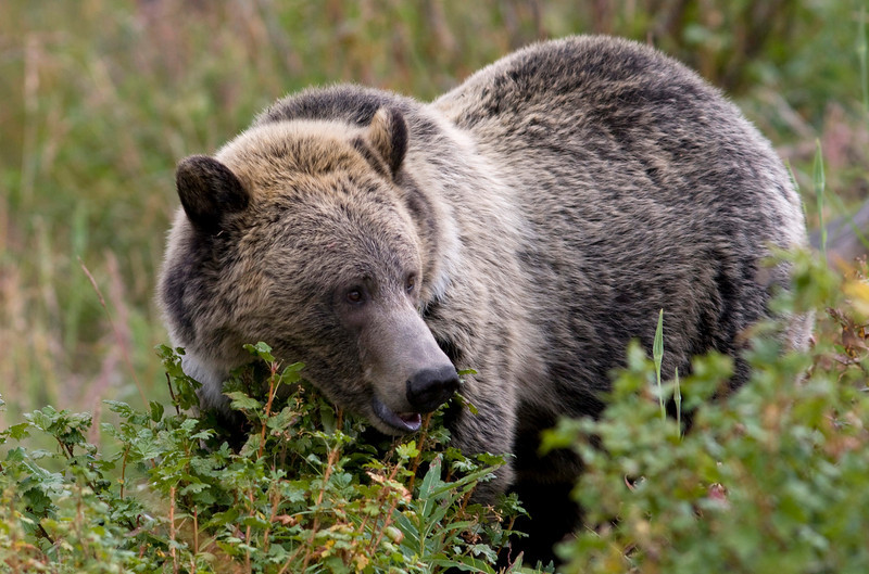 grizzly bear006.jpg