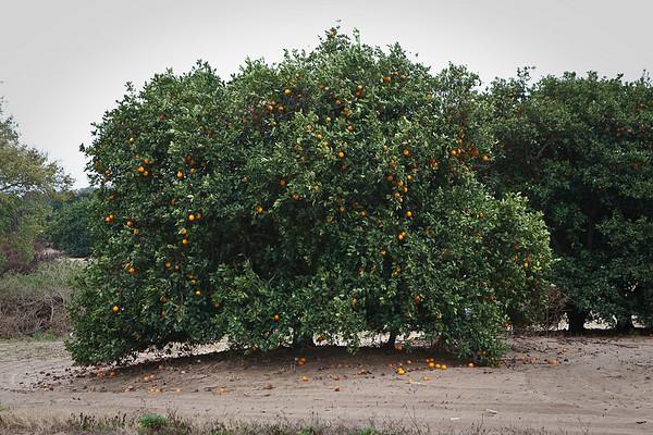 Oranges 2009