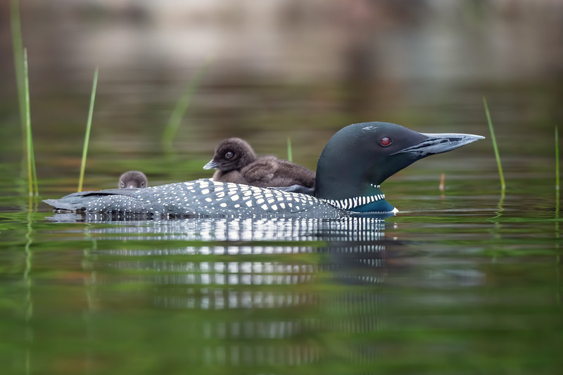 #1244 Common Loon and Chicks