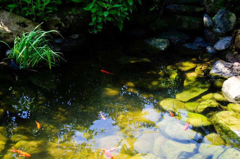 06_28_2019_Koi_Pond_DSC_0626.jpg