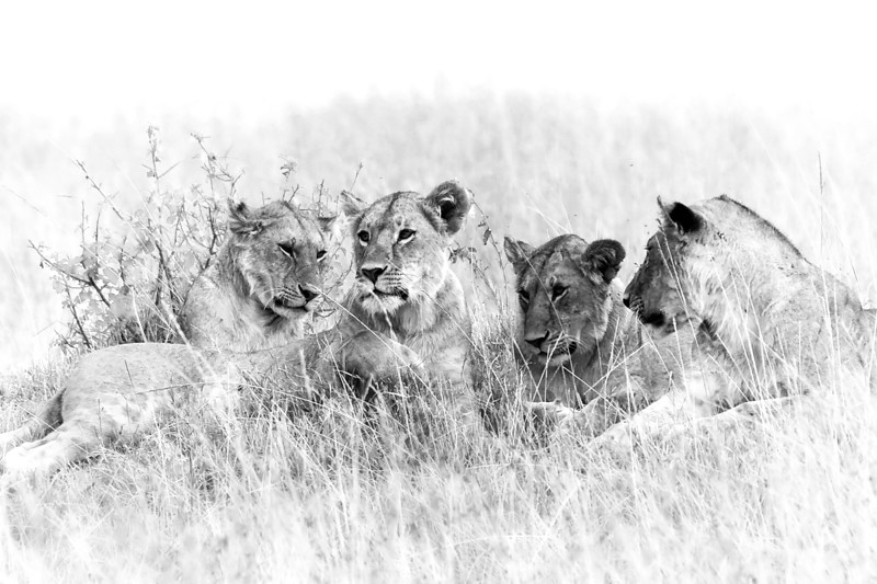 Group of female lions laying on a small hillside in Africa.