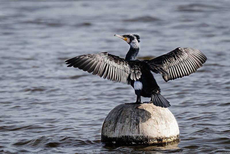 Cormorants are not All Black