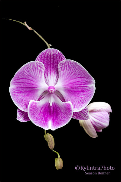 Pink Orchid 28