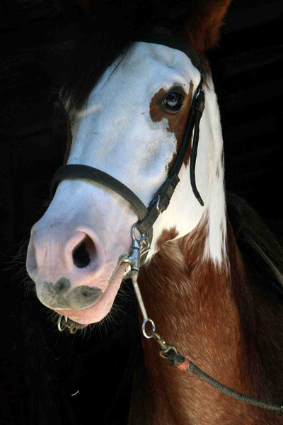 Beautiful Oliver is a 7 years old Criollo Gelding (Appaloosa/Paso mix) & he sadly must go to a good home.    He has beautiful markings, a smooth gait, is spirited, full of personality and very allegre - VERY SPECIAL!!!  His sire is a reining champion & mother is the granddaughter of Troyianna  $4,500    8-378-6679 / info@CostaRicaResourceGuide.com