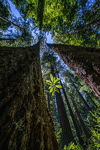 Redwood Tree Nation Park  N. California