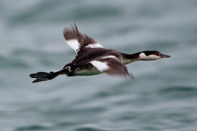 Grebe - Horned - non-breeding plumage - St. George Island State Park - FL - 02