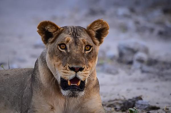 Botswana - (Chobe River) - Game