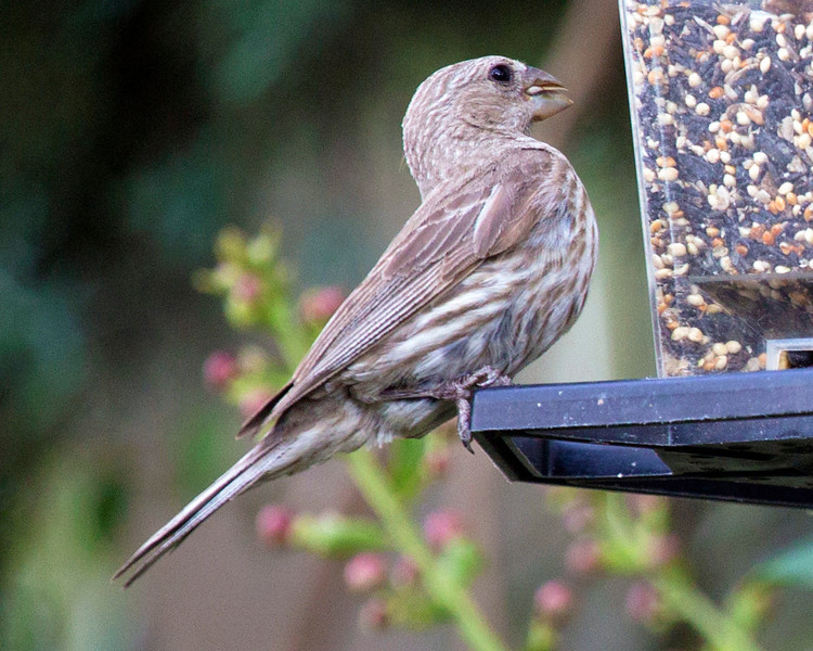 Is this a female Grosbeak?