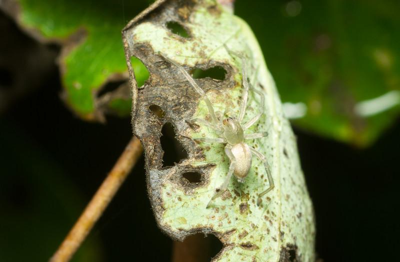 Long-legged sac spider, Cheiracanthium sp., from Iowa.