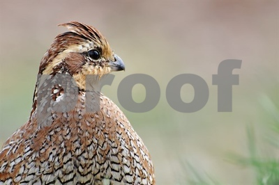 by-any-measure-rolling-plains-quail-numbers-are-up