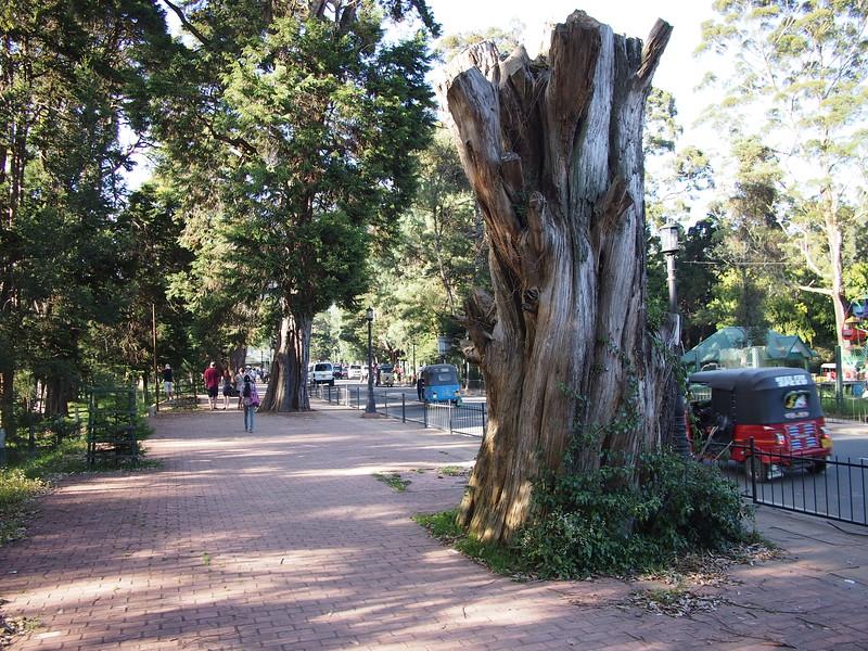P2168553-big-tree-stump.JPG