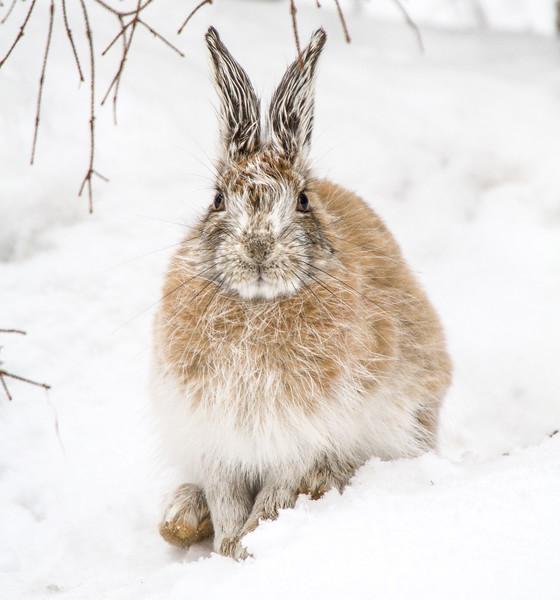 Snowshoe Hare Warren Nelson Memorial Bog Sax-Zim Bog MNIMG_0775.jpg