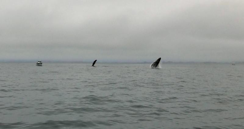 Moss Landing Whales 8.jpg