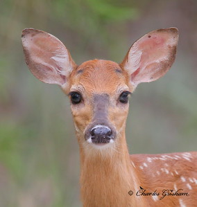 White-tailed Deer at Saint Andrews Park in Florida