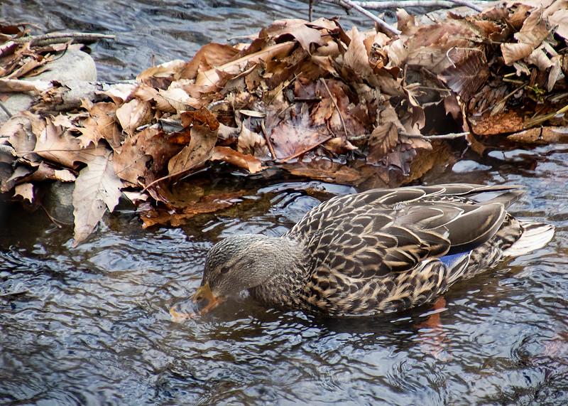 Duck_01.jpg