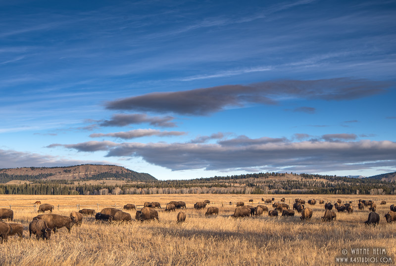 Where Buffalo Roam   Photography by Wayne Heim