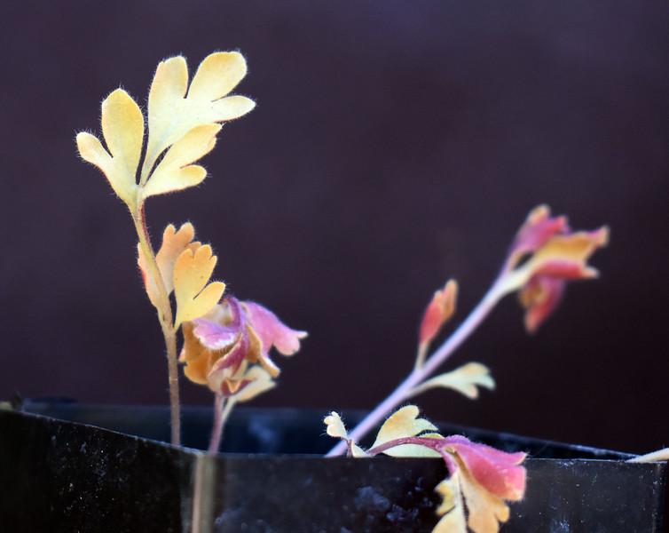 Pelargonium species Hoarae ex IGG 370 Leaf.jpg