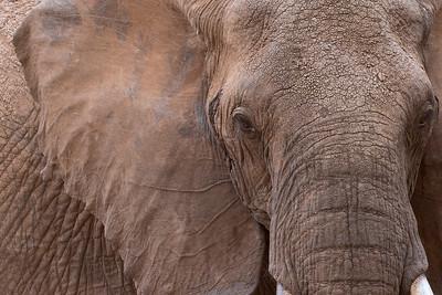 Elefante/Tembo/Elephant