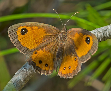Pyronia batsheba