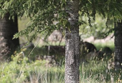 Atlaksenvihertikka (Picus vaillantii)