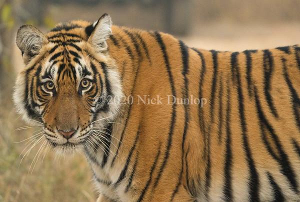 India Tigers