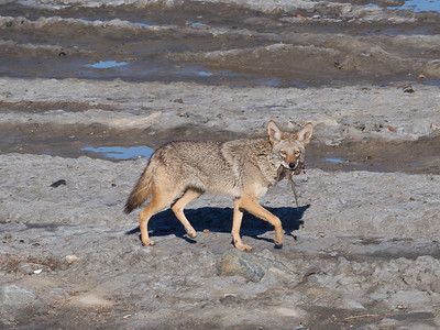 Coyote March 15 2018