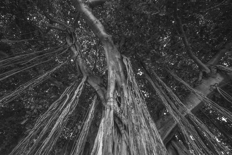 Banyan Tree 23