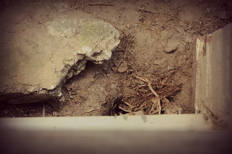 We have a tiny visitor living beneath our front porch.  Our bug man noticed him yesterday and we've been keeping an eye out for him.  I moved the rock close to his hole on order to hide him from the cat.  I don't want him to get eaten.