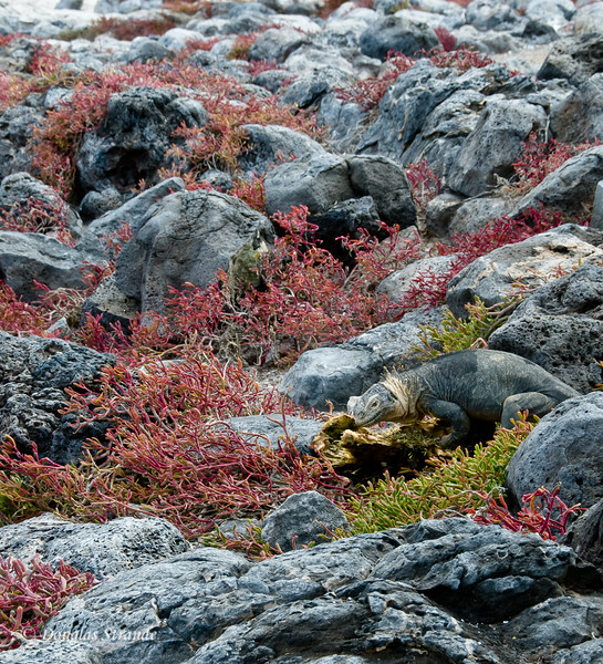 A marine iguana blends into the lava and sesuvium, South Plaza Island