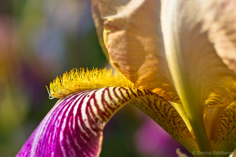 delicate, painted iris