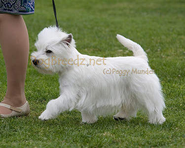 RHKC 2011 - West Highland White Terriers