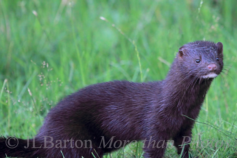 A wild mink